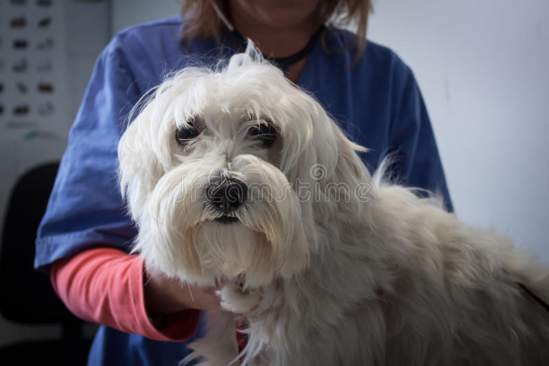Cão do terrier branco de montanhas ocidentais com veterinário imagem de stock