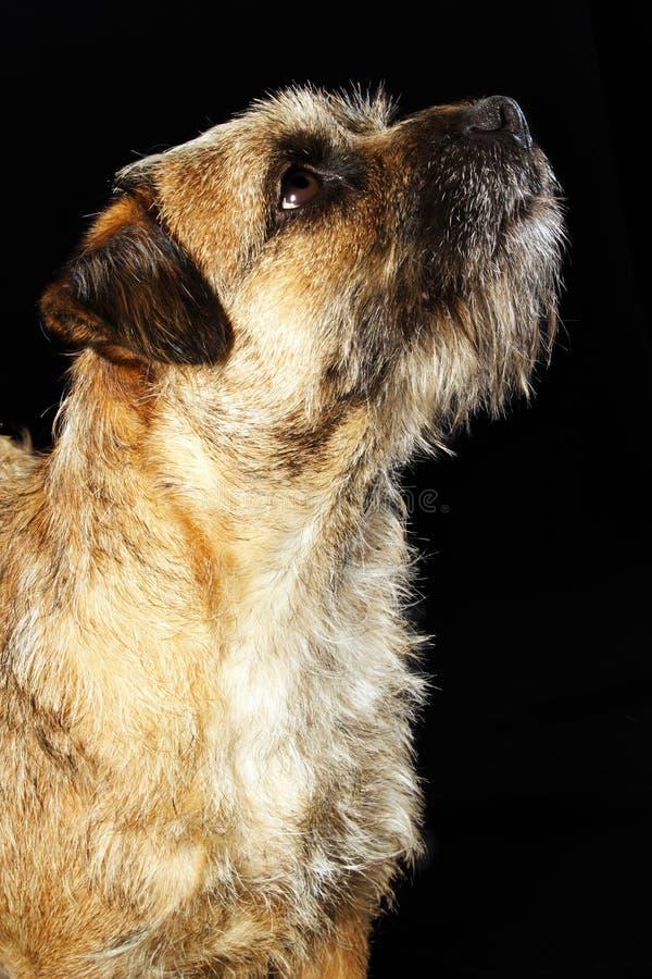 Cão do terrier de beira imagens de stock