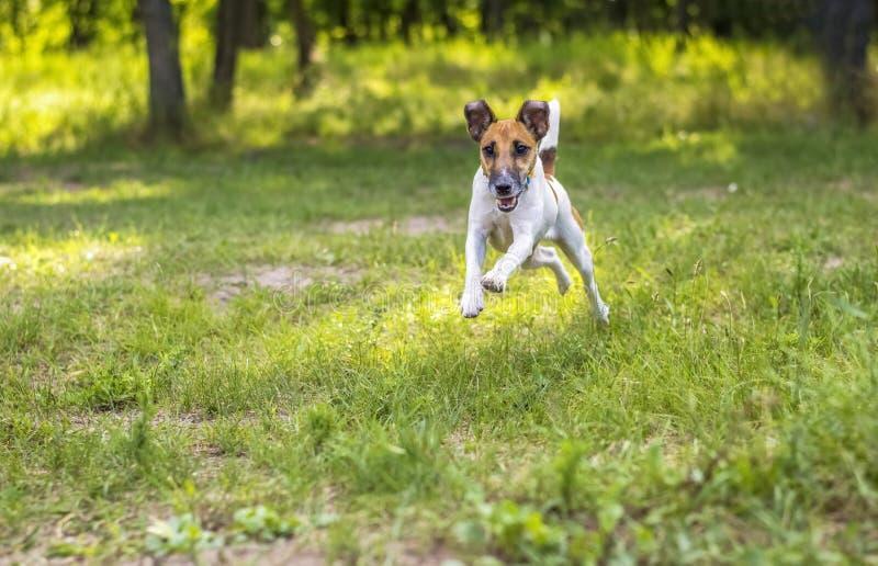 Cão do terrier de Fox no movimento na clareira verde imagens de stock royalty free