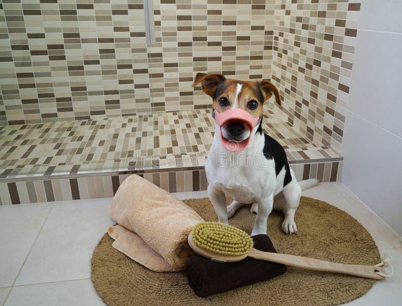 Cão do terrier de Jack russell que senta-se no tapete no banheiro foto de stock royalty free