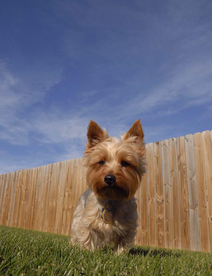 Cão do terrier de seda na jarda imagens de stock