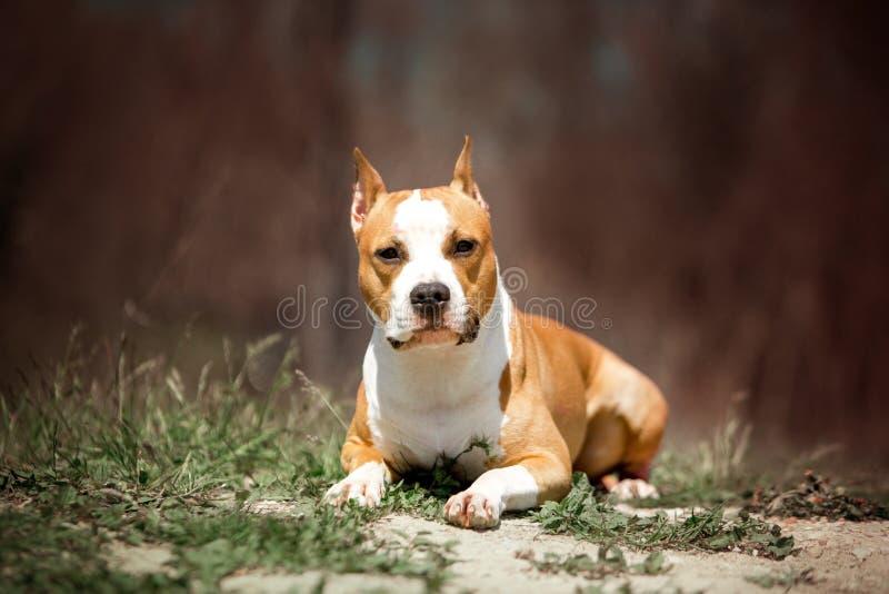 Cão do terrier de Staffordshire do retrato Parque verde no fundo imagens de stock