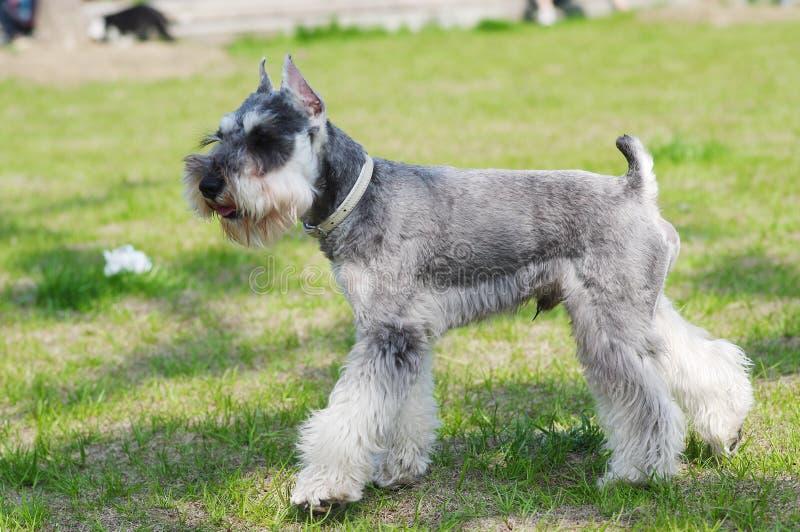Cão do terrier de Yorkshire imagens de stock royalty free