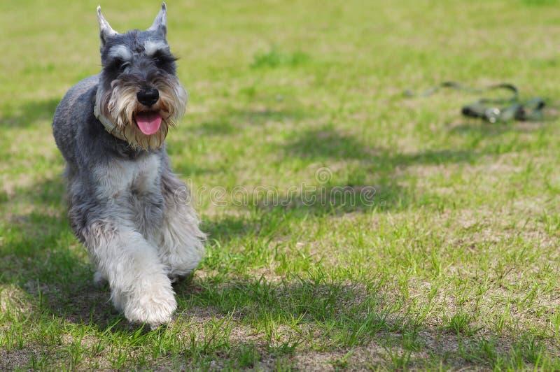 Cão do terrier de Yorkshire imagem de stock