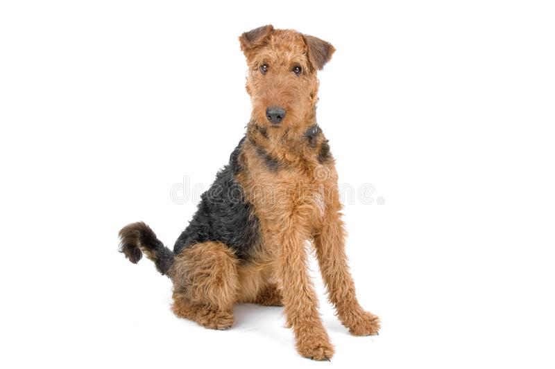 Cão do terrier do Airedale fotografia de stock