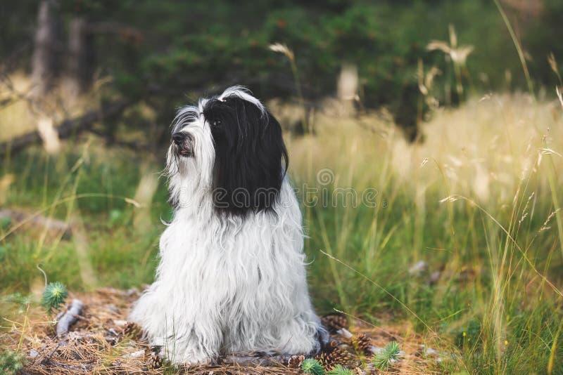 Cão do terrier tibetano com um olhar curioso que senta-se na estrada na floresta imagens de stock royalty free