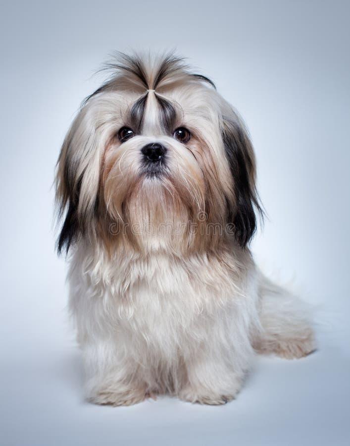 Cão do tzu de Shih foto de stock