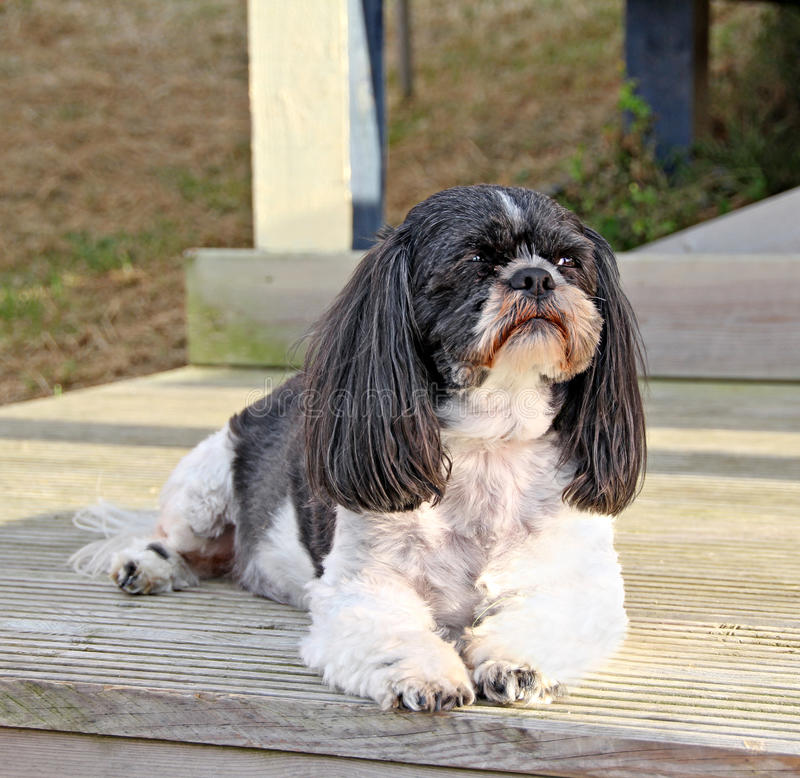 Cão do tzu de Shih fotografia de stock