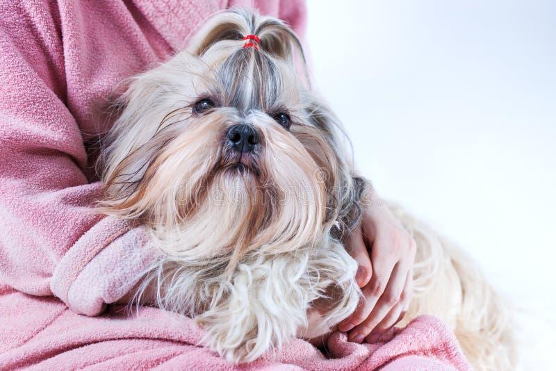 Cão do tzu de Shih nas mãos da jovem mulher imagens de stock royalty free