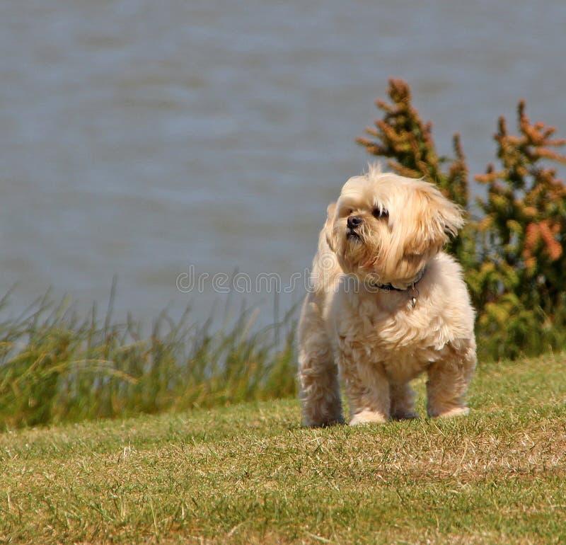 Cão do tzu de Shih pela costa fotografia de stock