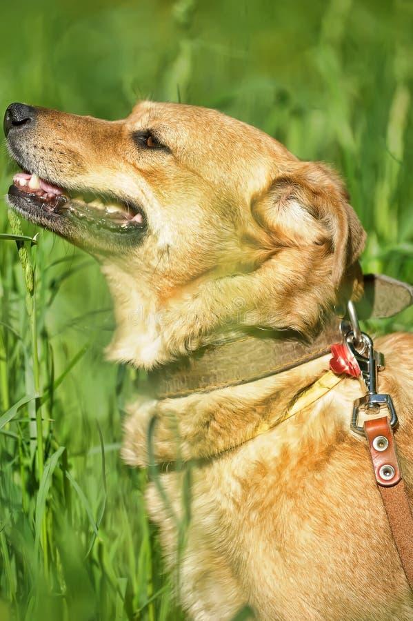 Cão do vermelho do retrato imagem de stock royalty free