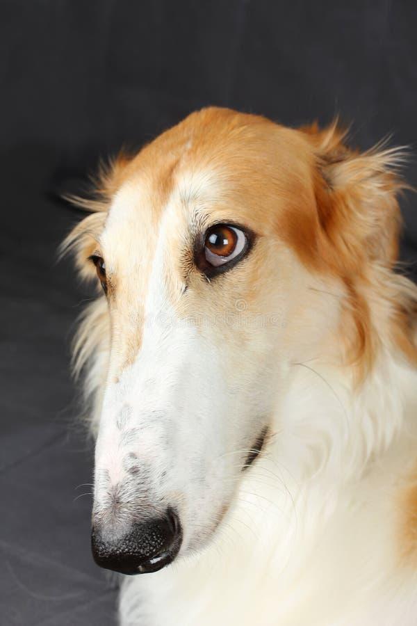 Cão do wolfhound do russo foto de stock royalty free