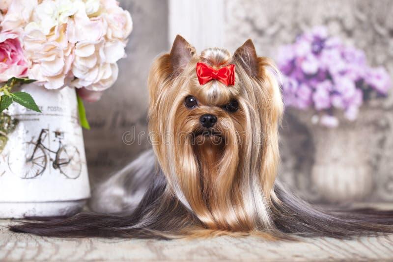 Cão do yorkshire terrier fotos de stock