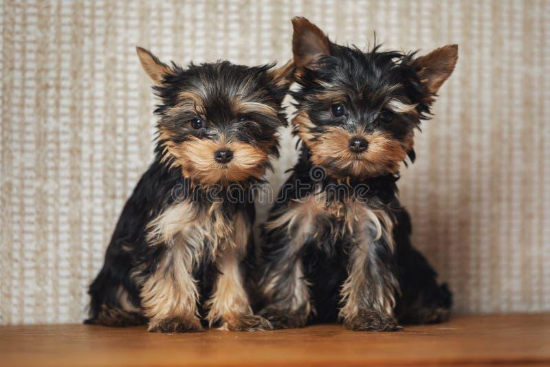 Cão do yorkshire terrier de dois cachorrinhos em casa imagem de stock royalty free