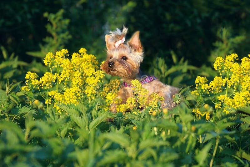 Cão do yorkshire terrier exterior na grama e nas flores fotos de stock