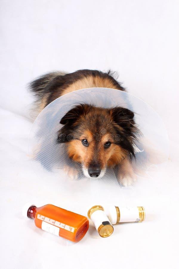 Cão doente foto de stock royalty free