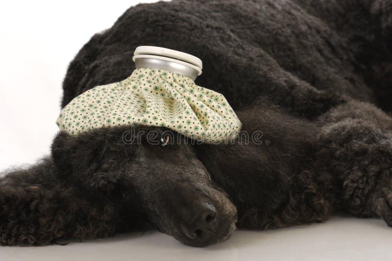 Cão doente fotos de stock