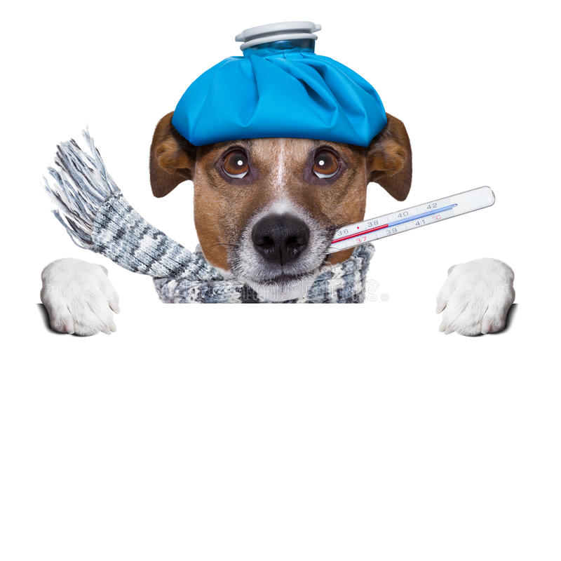 Cão doente com febre fotos de stock royalty free
