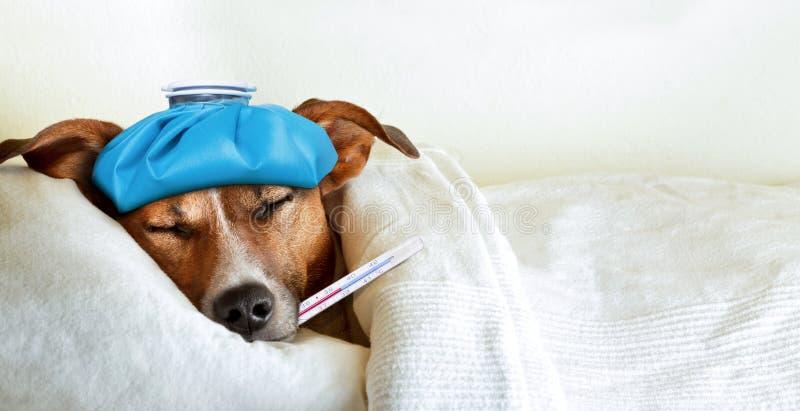 Cão doente doente imagem de stock
