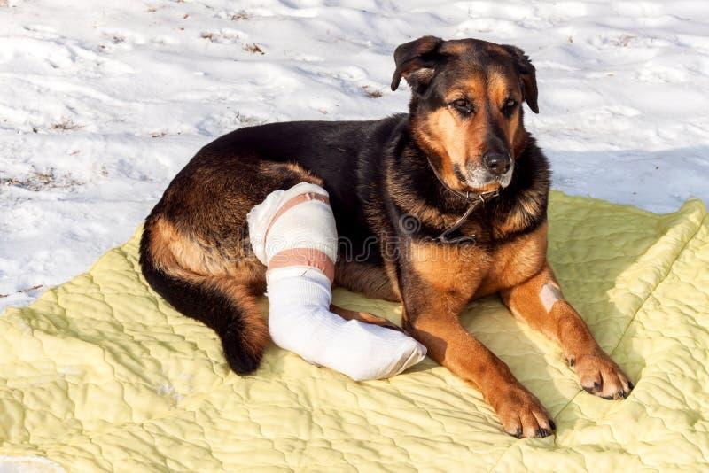 Cão doente que encontra-se em uma cobertura Tratamento dos pés traseiros feridos de um cão fotografia de stock