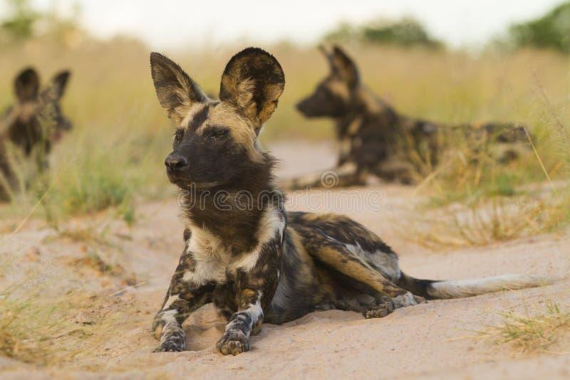 Cão dois selvagem que encontra-se para baixo foto de stock royalty free