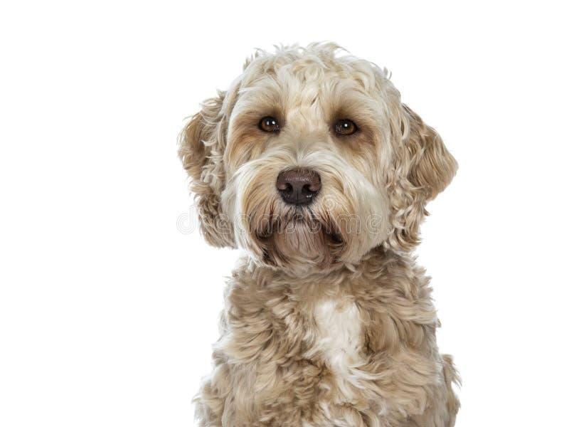 Cão dourado adulto fêmea doce de Labradoodle, isolado em um fundo branco imagem de stock
