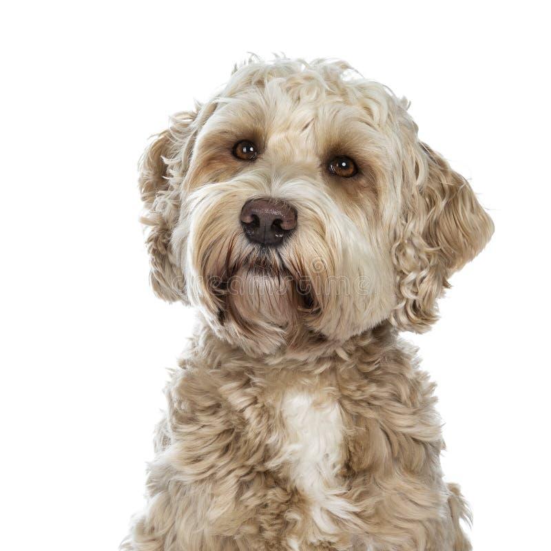 Cão dourado adulto fêmea doce de Labradoodle, isolado em um fundo branco imagens de stock