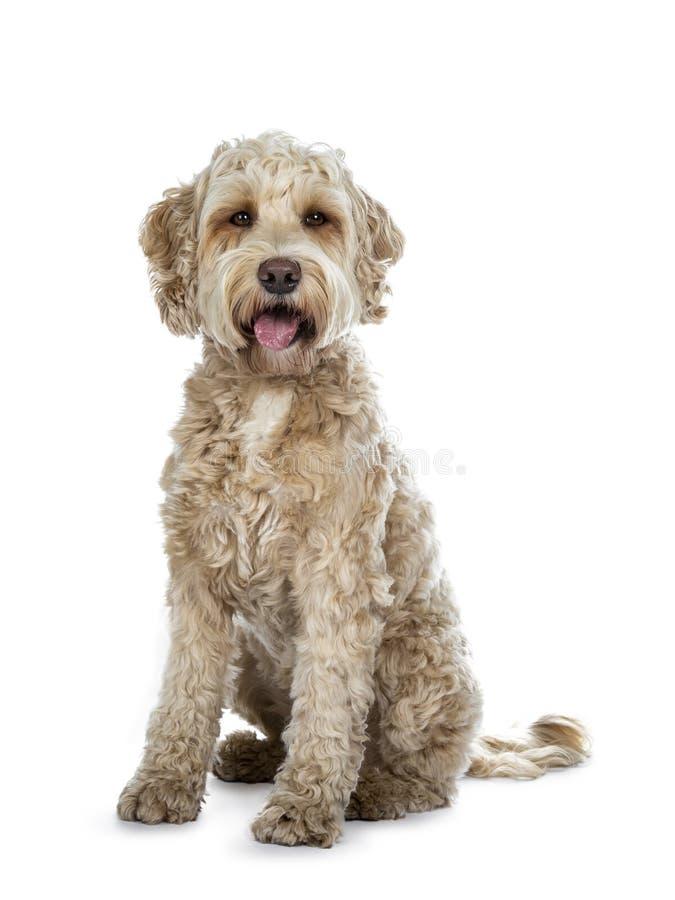 Cão dourado adulto fêmea doce de Labradoodle, isolado em um fundo branco fotos de stock royalty free