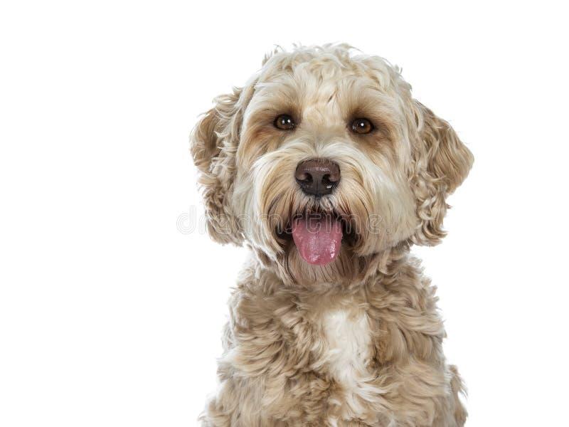 Cão dourado adulto fêmea doce de Labradoodle, isolado em um fundo branco fotos de stock