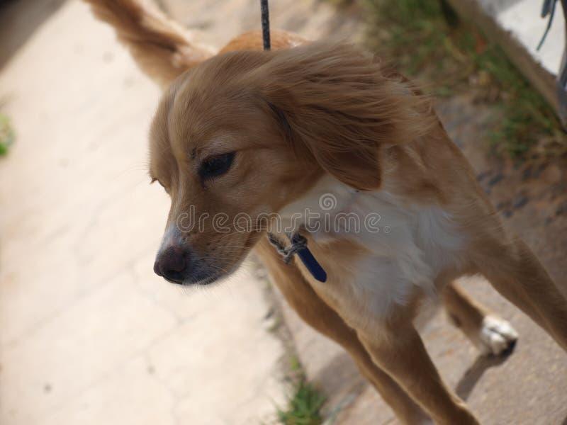 Cão dourado no parque imagem de stock royalty free