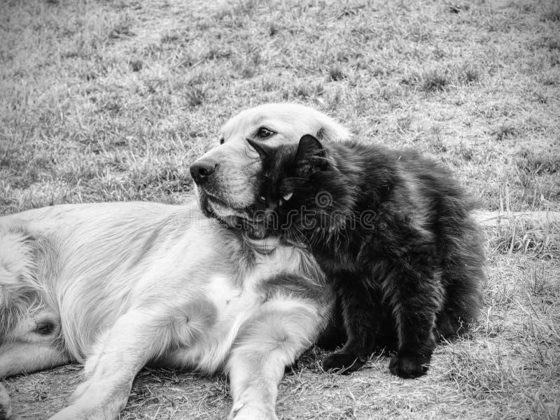 Cão dourado que lambe o gato bonito no verde de grama curto Gatinho preto adorável imagem de stock
