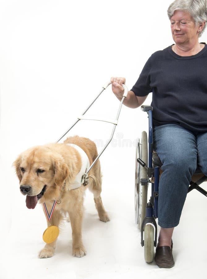 Cão e cadeira de rodas de guia isolados no branco foto de stock