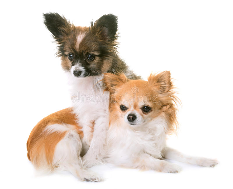Cão e chihuahua do pappillon do cachorrinho fotografia de stock royalty free