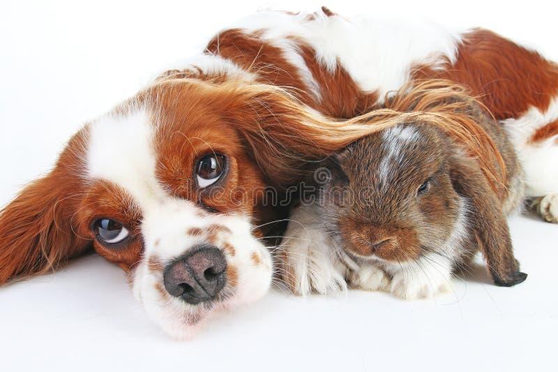 Cão e coelho junto Amigos animais Vivos reais do cetim do rex da raposa branca do animal de estimação do coelho do coelho podam d imagem de stock royalty free
