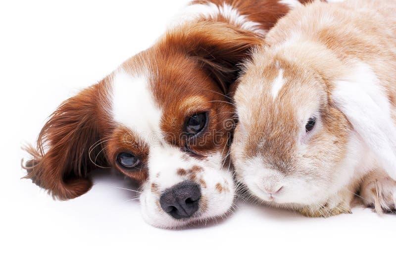 Cão e coelho junto Amigos animais Vivos reais do cetim do rex da raposa branca do animal de estimação do coelho do coelho da riva fotos de stock