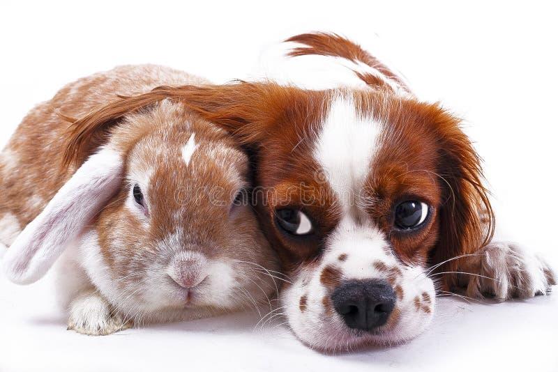 Cão e coelho junto Amigos animais Vivos reais do cetim do rex da raposa branca do animal de estimação do coelho do coelho da riva imagem de stock royalty free
