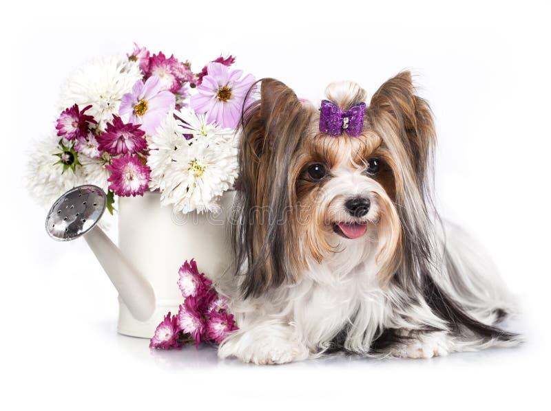 Cão e flores do terrier de Biewer Yorkshire fotos de stock royalty free