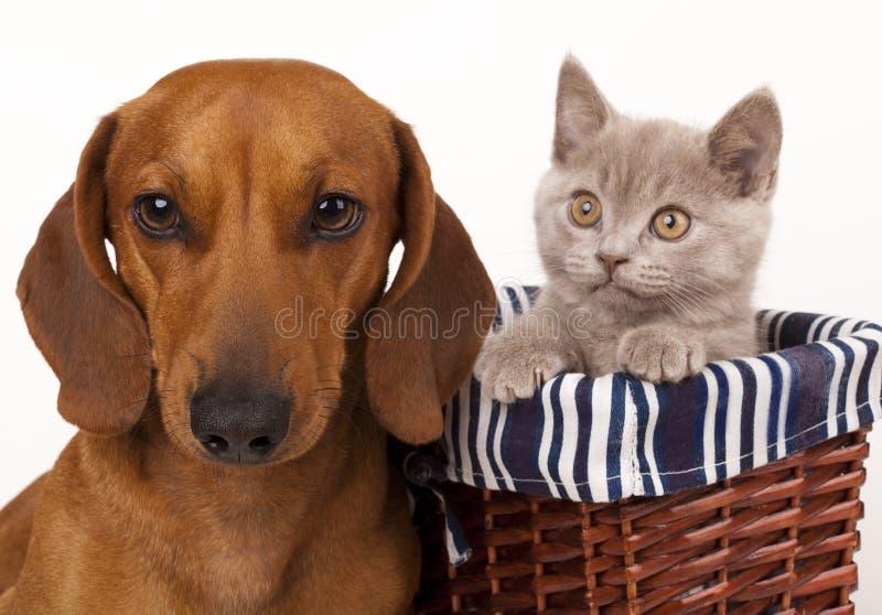 Cão e gatinho do Dachshund fotos de stock