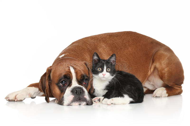 Cão e gato junto no fundo branco fotos de stock