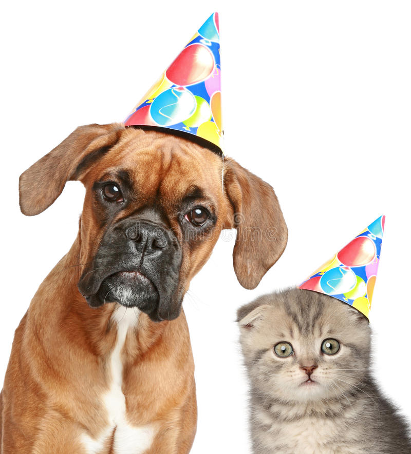 Cão e gato no tampão do partido no fundo branco imagem de stock