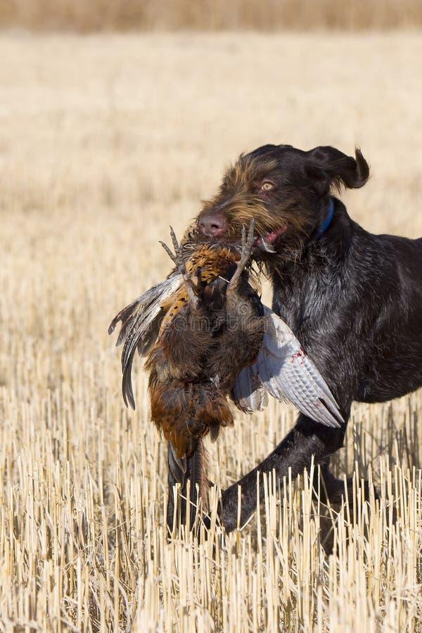 Cão e um faisão do galo imagens de stock