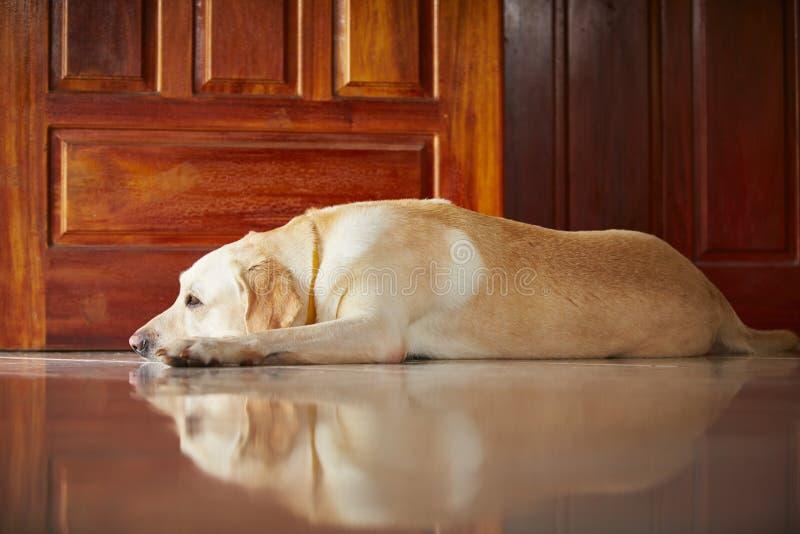 Cão em casa foto de stock royalty free