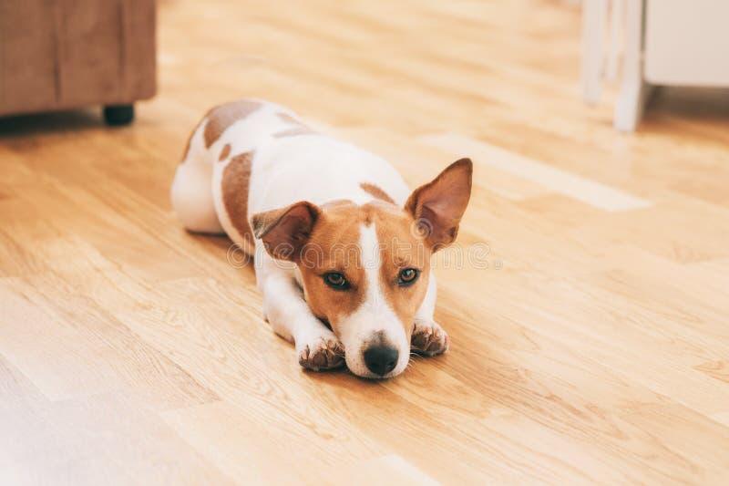 Cão em casa fotos de stock royalty free
