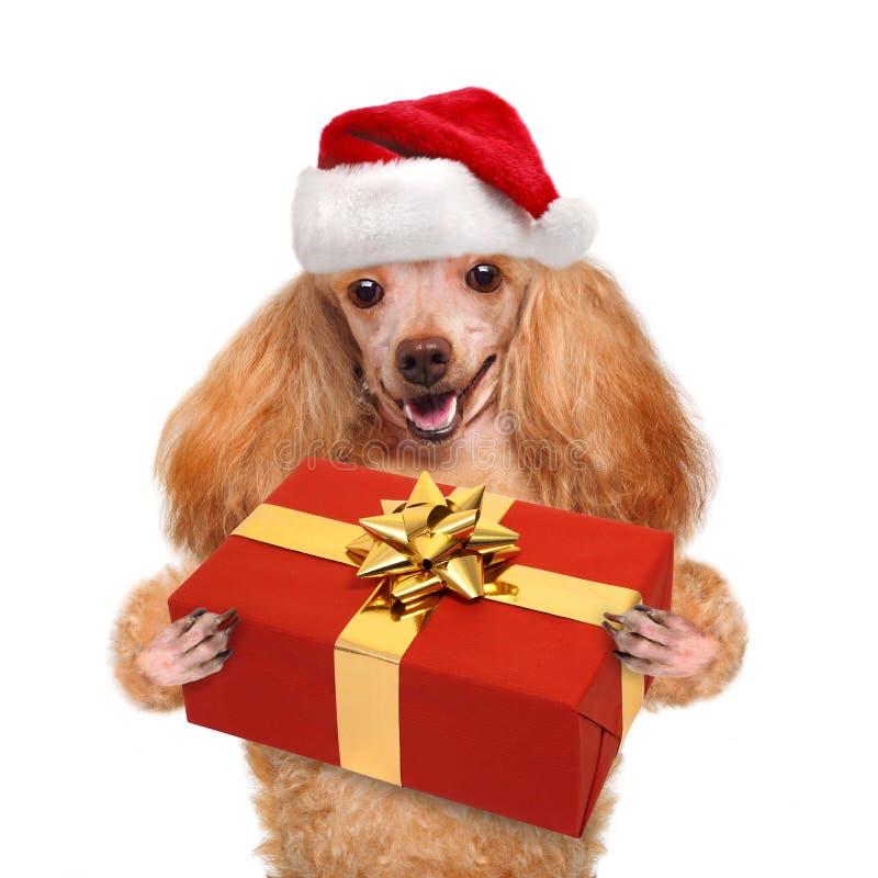 Cão em chapéus vermelhos do Natal com presente imagem de stock royalty free