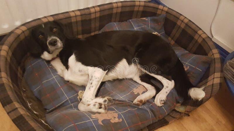 Cão em sua cama foto de stock royalty free