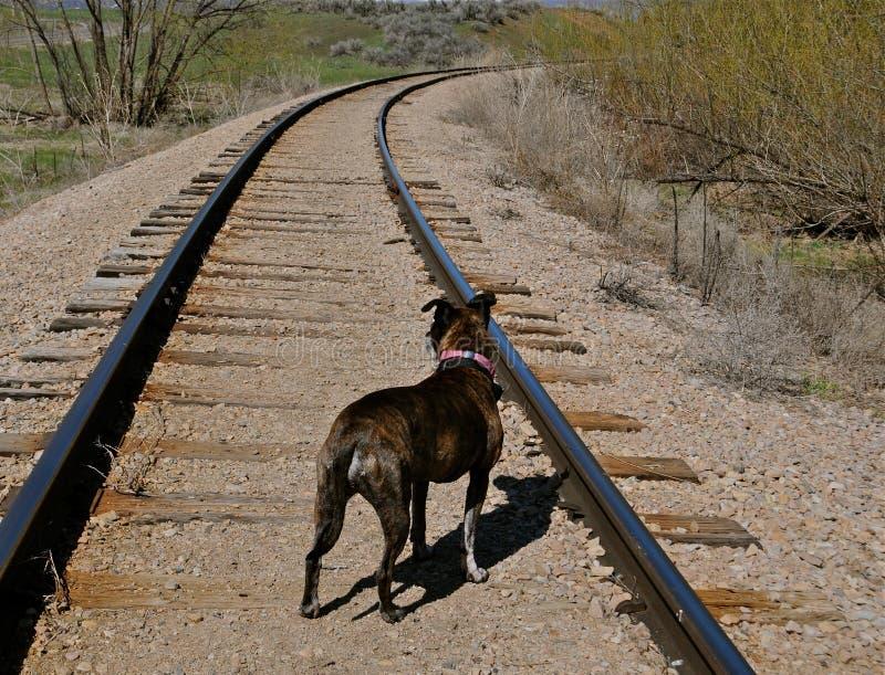 Cão em trilhas de estrada de ferro fotografia de stock royalty free