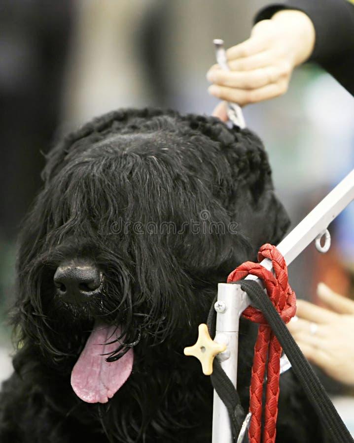 Cão em um barbeiro imagens de stock royalty free
