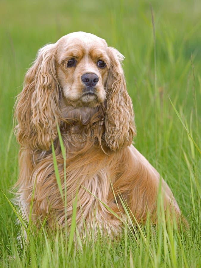 Cão em um campo gramíneo, luz suave de Cocker Spaniel, retrato vertical fotografia de stock
