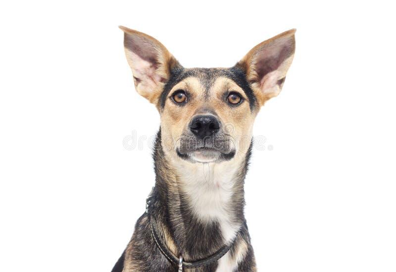 Cão em um fundo branco fotografia de stock royalty free