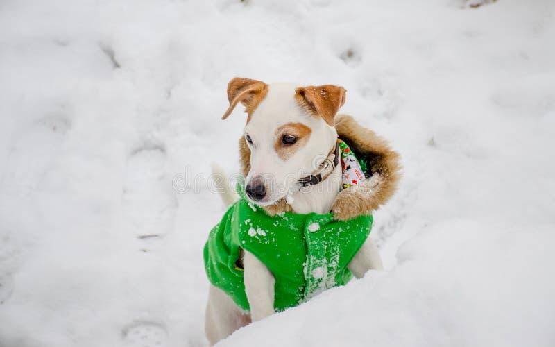 Cão em um revestimento verde na neve foto de stock